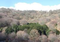 Agrifogli giganti Parco delle Madonie (2956 clic)