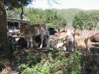 Animani in campagna  - San pier niceto (4502 clic)