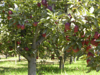 Albero di mele  - Etna (8247 clic)