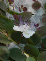 Necropoli di Pantalica - fiori di cappero  - Pantalica (3962 clic)