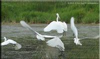 voli fauna nei pressi del Salso  - Licata (3309 clic)