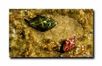 Conchiglie  - Torretta granitola (1295 clic)