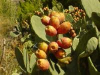 Fichidindia  - Mistretta (3843 clic)
