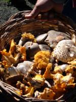 Funghi cavolfiore e altri funghi, appena raccolti da mano (v. parte alta della foto) esperta nei boschi sopra Randazzo. Ottobre 2005  - Randazzo (8587 clic)