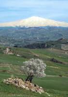 albero e vulcano  - Nicosia (3457 clic)