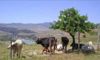 Rimirando il lago Ancipa  - Troina (8282 clic)