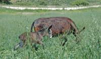 verdi pascoli maggiolini  - Nicosia (3705 clic)