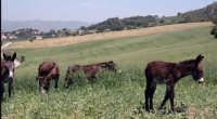 c/da musa asini al pascolo  - Nicosia (4420 clic)