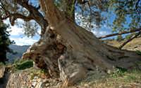 ulivo saraceno di giovane età  - Tusa (9530 clic)