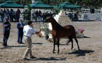 arabi in sicilia concorso nazionale del cavallo arabo purosangue  - Cinisi (13449 clic)