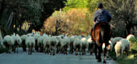 gregge e pastore  - Nicosia (3113 clic)