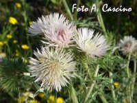 Flora selvatica  - Agrigento (2015 clic)