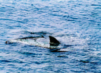 pinna dello squalo  - Sciacca (11224 clic)
