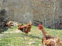 galline razzolano nell'aia davanti una casa: in primo piano una povera gallina spennacchiata! - 23 aprile 2006   - Palazzo adriano (10266 clic)