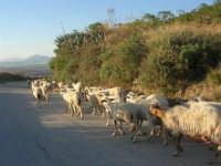 gregge di pecore - 2 ottobre 2007  - Poggioreale (1440 clic)