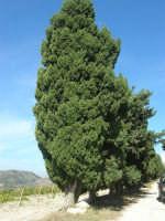 sul colle Pianto Romano, il viale alberato (Viale della Rimembranza) che collega l'ossario alla stele - 4 ottobre 2007  - Calatafimi segesta (834 clic)