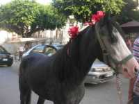 cavallo . . . con i fiocchi - 10 ottobre 2009  - Partinico (4637 clic)
