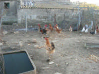 periferia: animali da cortile in libertà - 9 ottobre 2007    - Vita (4147 clic)