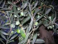 olive - il Giardino delle Esperidi - 10 ottobre 2009  - Castelvetrano (3197 clic)