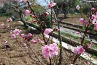 fiori rosa, da frutta - 12 marzo 2008  - Alcamo (1033 clic)