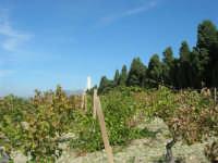 vigna sul colle Pianto Romano e gli alberi del Viale della Rimembranza che collega l'ossario alla stele - 4 ottobre 2007  - Calatafimi segesta (783 clic)