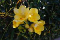 fiori gialli - 12 marzo 2008  - Alcamo (1139 clic)