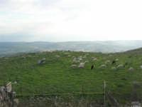 gregge al pascolo - 9 novembre 2008  - Caltabellotta (1843 clic)