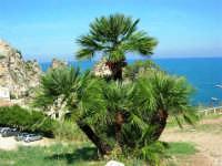 palma nana - 1 ottobre 2006  - Scopello (1679 clic)