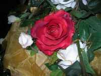 rosa rossa e rose bianche - 12 settembre 2009   - Torretta (4797 clic)