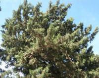 sul colle Pianto Romano gli alberi del Viale della Rimembranza che collega l'ossario alla stele - 4 ottobre 2007  - Calatafimi segesta (649 clic)