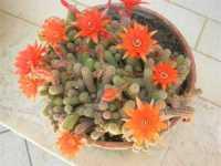 pianta grassa in fiore - 14 giugno 2009  - Alcamo (2409 clic)