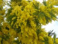 mimosa - 1 marzo 2009   - Santa ninfa (3385 clic)