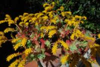 giallo, verde e rosso: pianta grassa in fiore - 12 marzo 2008  - Alcamo (967 clic)