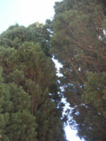 sul colle Pianto Romano gli alberi del Viale della Rimembranza che collega l'ossario alla stele - 4 ottobre 2007  - Calatafimi segesta (676 clic)