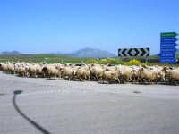 GALLITELLO - passa un gregge di pecore - 22 aprile 2007  - Alcamo (1203 clic)