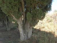 sul colle Pianto Romano gli alberi del Viale della Rimembranza che collega l'ossario alla stele - 4 ottobre 2007  - Calatafimi segesta (798 clic)