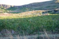vigna in primo piano - 2 ottobre 2007  - Poggioreale (2023 clic)