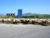 GALLITELLO - passa un gregge di pecore - 22 aprile 2007  - Alcamo (1412 clic)