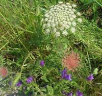 flora - 3 maggio 2009    - Buseto palizzolo (2757 clic)