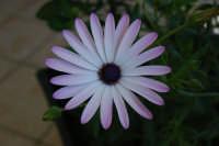 m'ama, non m'ama, m'ama . . . - 12 marzo 2008  - Alcamo (955 clic)