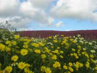 i colori della campagna a primavera - 25 aprile 2008  - Camporeale (2460 clic)