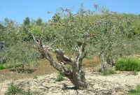 ulivo - 14 maggio 2006  - Chiusa sclafani (1530 clic)