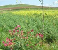 la campagna a primavera - 3 maggio 2009    - Buseto palizzolo (1603 clic)