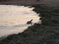 cumuli di alghe in riva al mare; un cane sta per uscire dall'acqua, dove ha cercato un pò di refrigerio - 1 agosto 2007  - Marinella di selinunte (3279 clic)