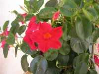 fiori a casa nostra - 14 giugno 2009  - Alcamo (2217 clic)