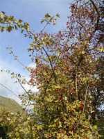 azzalora - sulla montagna nei pressi della Baia di Guidaloca - 8 dicembre 2009  - Castellammare del golfo (2212 clic)