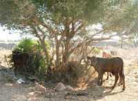 bovini sulla collina ad ovest della città - 24 agosto 2009   - San vito lo capo (1405 clic)