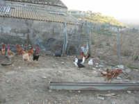periferia: animali da cortile in libertà - 9 ottobre 2007    - Vita (4470 clic)