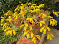 giallo, verde e rosso . . . pianta grassa in fiore - 6 marzo 2008  - Alcamo (1331 clic)