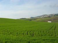 campi di grano - 21 febbraio 2009  - Balata di baida (5171 clic)